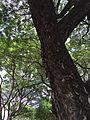 RaintreeCU.JPG