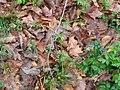 Ranunculus abortivus plant.jpg