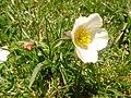Ranunculus amplexicaulis (p-e) - Picos de Europa.jpg