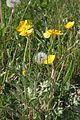 Ranunculus bulbosus ENBLA01.JPG
