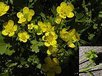 Ranunculus marginatus