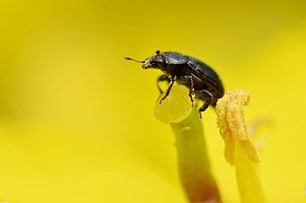 Rapeseed pollen beetle (31103766334).jpg