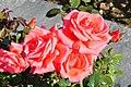 Rapperswil - Duftrosengarten - Harmonie TH Kordes 1981 2010-08-29 16-18-10.JPG