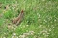 Rapphöna Grey Partridge (14520510895).jpg