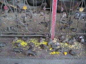 File:Rats in Karni Mata Temple.ogv