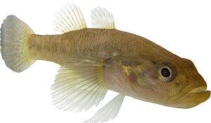 Eleotridae - Ratsirakia legendrei