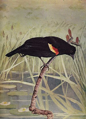 Bird Neighbors - Image: Red Winged Blackbird