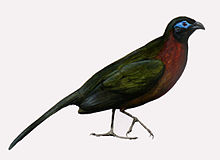 Red-breasted Coua.jpg