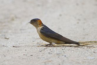 Red-rumped swallow - From Pangolakha Wildlife Sanctuary, East Sikkim, India.