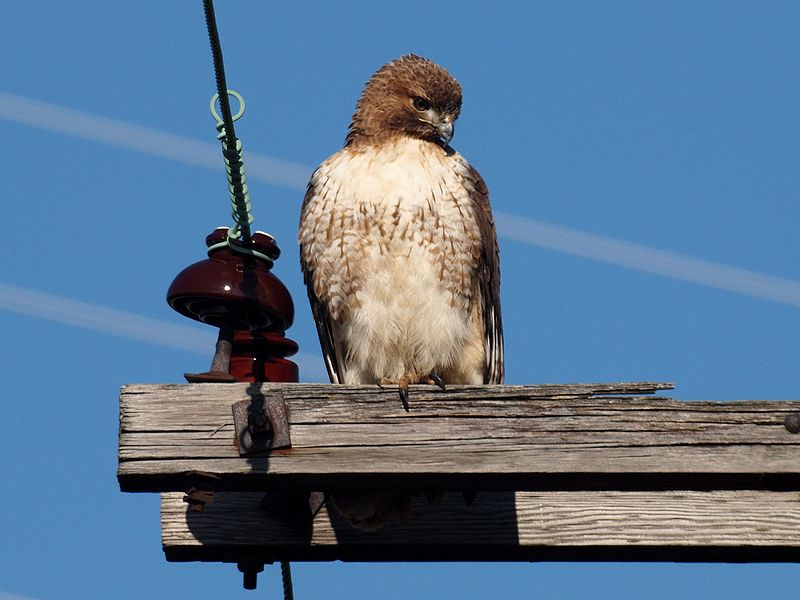 File:Red-tailed Hawk-27527-2.jpg