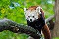Red Panda (24676768868).jpg