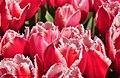 Red and white tulips - panoramio.jpg