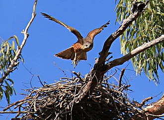 Red goshawk - A Red goshawk in Cape York Peninsula