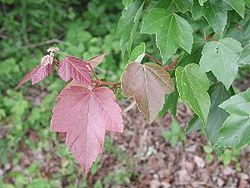Red maple 0381.JPG