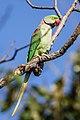 Red ringed Parakeet Psittacula krameri 42 cm.jpg