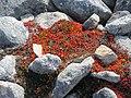 Red vegetation in rocks Lille Malene hike near Nuuk Greenland.jpg