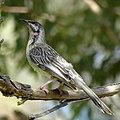 Redwattlebird2.jpg
