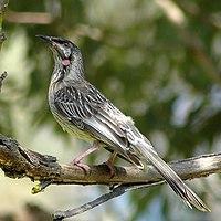 Redwattlebird2