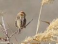 Reed Bunting (Emberiza schoeniclus) (50677159462).jpg