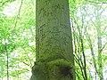 Reichsadler am Baum im Vieburger Gehölz Kiel (2).jpeg