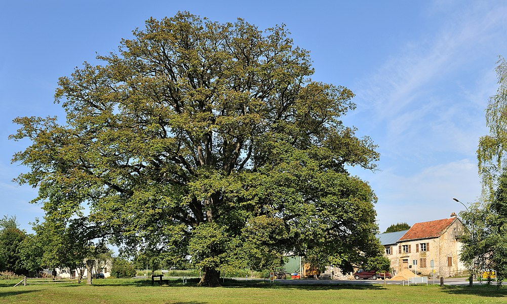 Remrkable oak at Saeul, lieudit Hëlzent, Luxembourg. This oak is around 280 years  old.