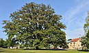 Remarkable oak Saeul 01.jpg