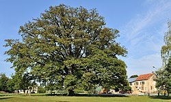 The remarkable oak