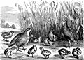 Reptiles and birds - a popular account of their various orders - with a description of the habits and economy of the most interesting (1870) (20556667229).jpg
