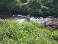 Restes encrassés d'arbuste tombé dans le Train, à Grez-Doiceau 002.jpg