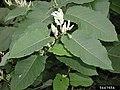 Reynoutria japonica flower (20).jpg