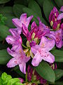 Rhododendron catawbiense 13.JPG
