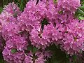 Rhododendron catawbiense a5.jpg
