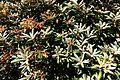 Rhododendron degronianum subsp. yakushimanum - UBC Botanical Garden - Vancouver, Canada - DSC07867.jpg