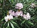 Rhododendron makinoi.jpg