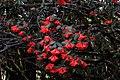 Rhododendron thomsonii (2), Western Arunachal AJTJ.jpg