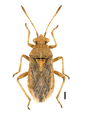 Rhopalus parumpunctatus.png