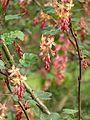 Ribes x beatonii (13620528675).jpg