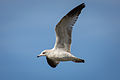 Ring-billed Gull IMG 2718.jpg