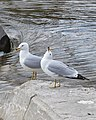 Ring-billed Gulls (Larus delawarensis) - Guelph, Ontario 2020-04-11.jpg