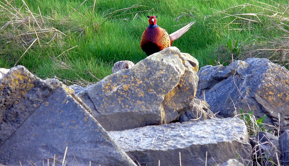 Ring-necked pheasants on shore of the Severn Estuary at Newport Wetlands RSPB Reserve