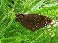 Ringlet butterfly (28311903045).jpg