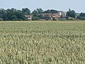 Ripening wheat near Holme Lane - geograph.org.uk - 1385838.jpg