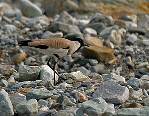 River Lapwing (Vanellus duvaucelii) at Jayanti, Duars, West Bengal W IMG 5298.jpg