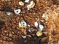 River tern-Broken eggs03 - Koyna 042011.JPG