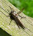 Robber Fly. Asilidae. female Machimus atricapillus - Flickr - gailhampshire.jpg