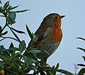 Robin (30067323714).jpg