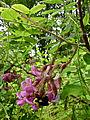 Robinia hispida - Rose Locust.jpg