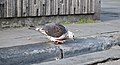 Rock pigeon (Columba livia) inspecting the curb at place de la Bourse, Brussels, Belgium (DSCF4415).jpg