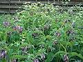 Rohtoaunioyrtti lila Symphytum officinale VI05 C 6270.JPG