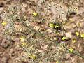 Rokycanská stráň, kvetoucí rostlina.jpg